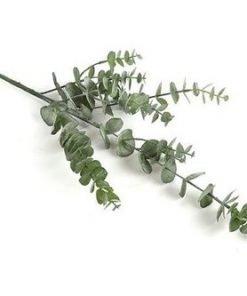 Eucalyptusoksa, 79 cm